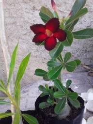 Flor Do Deserto vermelho com borda preta