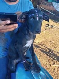Vendo um cachorro vira lata com Rottweiler