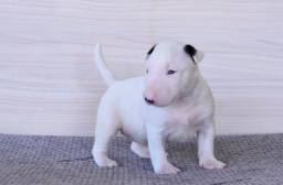 Bull Terrier com pedigree e Garantias