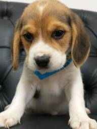 Beagle machinho