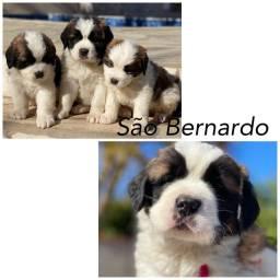 Lindos filhotes de são Bernardo com pedigree e microchip até 18x