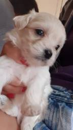 Vende-se Filhote de Poodle Francês