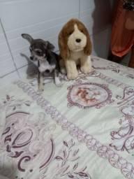 Chihuahua Top Fêmea Micro Bibelo Qualidade e Bom Preço