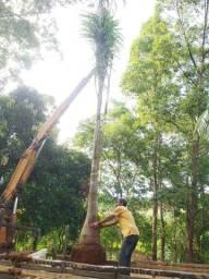 20 palmeiras adultas $ 8mil