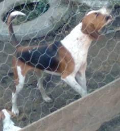 Filhotes Foxhound americano urrador