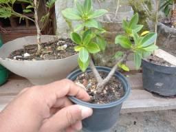 Vendo bonsais de ficus muito bonito fotos e vídeos no zap