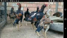 Vende se galinhas carioca