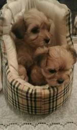 Lindos Filhotes Raça Morkies Puppies Mix (vermifugados)