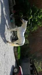Égua Mangalarga marchador com Crioulo