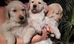 Golden retriever com pedigree e micro chip