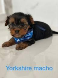 Yorkshire Terrier machinho com assistência