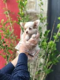 Chihuahua- cores exóticas a pronta entrega- (11)3729-3868 ou *