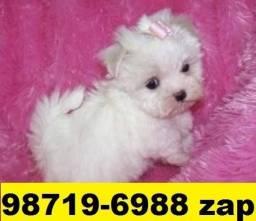 Canil Líder Cães Filhotes BH Maltês Yorkshire Shihtzu Lhasa Poodle Basset Beagle Fox