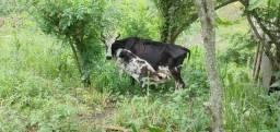 Vendo vaca sem o filhote
