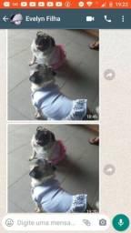 Pugs femeas