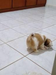 filhote de Shitzu macho com 50 dias
