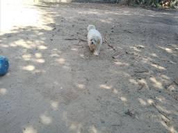 Um cachorro maltez