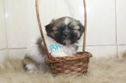 Lindo Machinho de Shihtzu