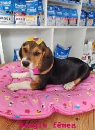 Beagle várias opções de femeas, venha conferir