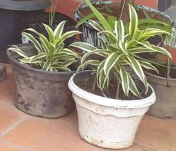 Planta Brasileirinha