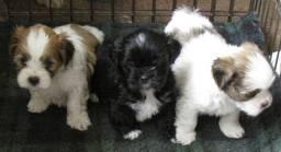 Lhasa Apso, lindos filhotes a pronta entrega