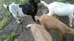 Vendo cabras