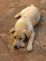 Labrador (fêmea) pra vim buscar hoje