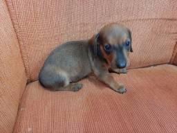 Basset hound macho