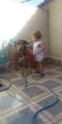 Labrador com Pitbull - adoção
