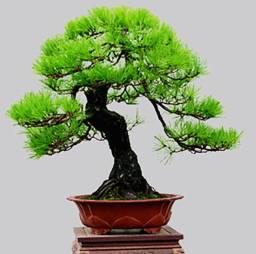 Semente Bonsai Pinheiro Negro Japonês