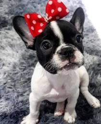 Bulldog francês macho e fêmea disponível