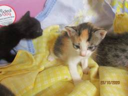 Doação de Lindas Tricolores Filhotes 2 meses