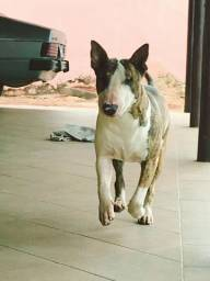 Bull Terrier disponivel para cobertura