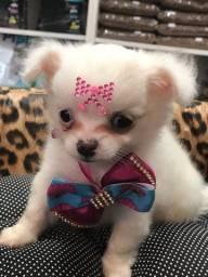 Chihuahua fêmea branca disponível