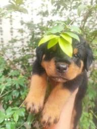 Título do anúncio: Filhotes Puro de Rottweiler