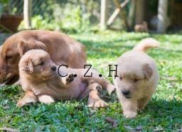 Título do anúncio: Golden retriever padrão da raça com pedigree e recibo. Filhote com garantias