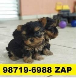 Canil Filhotes Cães Excelência BH Yorkshire Basset Poodle Beagle Maltês Shihtzu