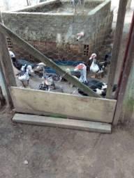 12 Patos