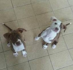 Pit Bull Red Nose TOP