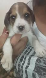 Único Filhote machinho Beagle Pocket