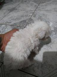 Vende-se Poodle toy