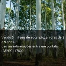 Vendo 6mil pés de eucalipto de 8 a 9 anos