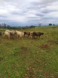 Novilha ,garrote,vaca