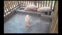 Porcos leitoa e leitão