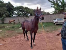 Cavalo Garanhão PSI