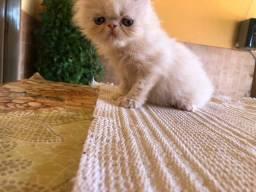 Vendo gato Persa R$800,00
