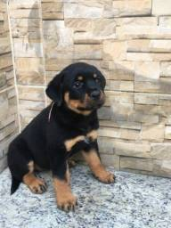 Título do anúncio: Fêmea de Rottweiler disponíveis