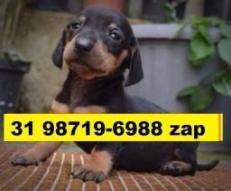 Canil Filhotes Cães Premium BH Basset Yorkshire Maltês Lhasa Beagle Shihtzu