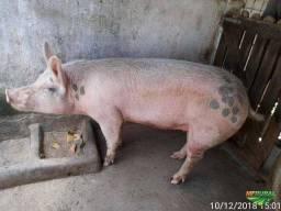 Vendo casal de porcos adultos saudáveis