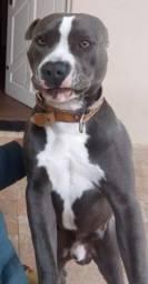 american staffordshire terrier para cruza